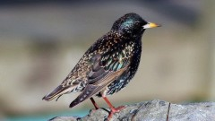 The Great Cannon Debate: Starlings, Noise Pollution, and the Bottom Line