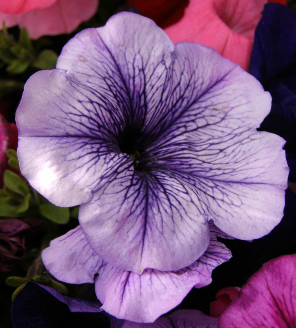 Garden Of Edith On Petunias The Fallon Post